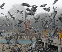 Gujarat: Pigeon with a chip gives Home Ministry a scare!