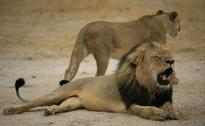 Killer of Cecil the Lion Should be Extradited: Zimbabwe