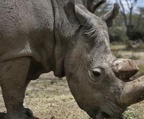 Worlds last male northern white rhinoceros dies