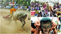 What is Jallikattu: Seizing the bull by its horns