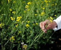 GM mustard moves closer to approval