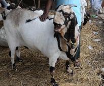 Goat arrested for trespassing in Chhattisgarh, released on bail