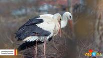 Male Stork Travels 14,000 Km Every Year to Be with His Handicapped Mate