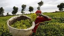 Govt to provide benefits to small tea growers: Sitharaman