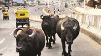 Mumbai: Man wants cops to search for 'stolen' buffaloes, moves HC